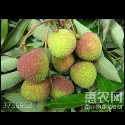 广东省茂名市高州市三月红荔枝 1.5cm