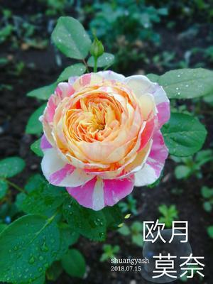 江苏省宿迁市沭阳县法国莫奈  条纹灌木类月季