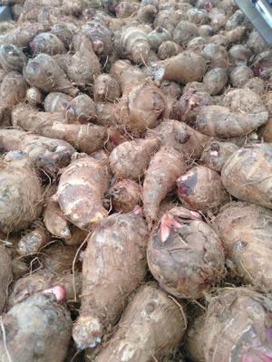 四川省攀枝花市盐边县红芽芋 3cm以上