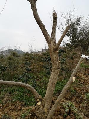 重庆巫山县造型石榴树
