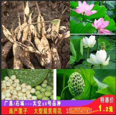 江西省赣州市石城县太空莲36号藕种 水洗藕
