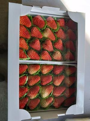 辽宁省丹东市东港市丹东草莓 20克以上