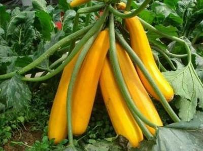 山东省济南市历城区香蕉西葫芦种子