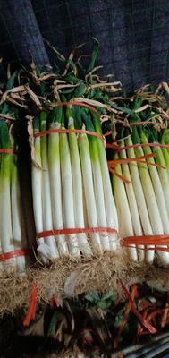 山东省潍坊市昌乐县铁杆大葱  净葱 30~50cm 好芽葱大量上市了