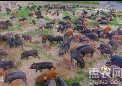 海南省儋州市儋州市特种野猪 统货 120斤以上