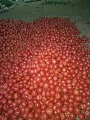 河北省衡水市饶阳县硬粉番茄 通货 弧二以上 硬粉