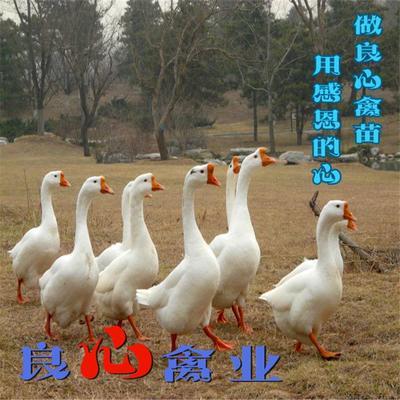 湖南省衡阳市蒸湘区白鹅苗