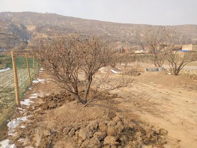 甘肃省定西市临洮县紫斑牡丹 3.5米~4米 10~12cm 20cm以上
