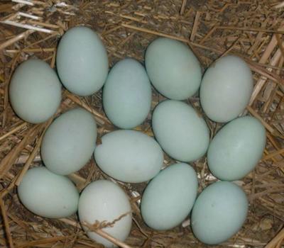 天津西青区土鸭蛋 食用 散装