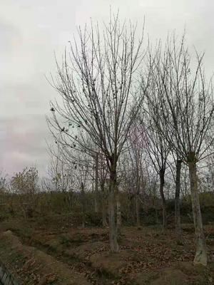 湖北省鄂州市华容区五角枫