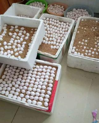 广东省惠州市惠城区银羽王鸽子蛋 食用 散装