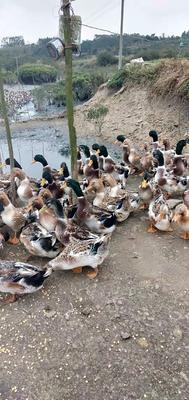 广西壮族自治区钦州市钦南区青头鸭 5-8斤