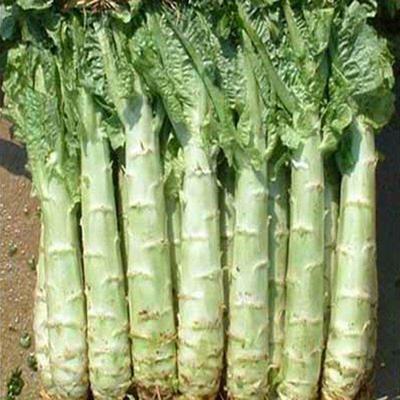 河南省许昌市襄城县红尖叶莴苣 2斤以上 24~28cm