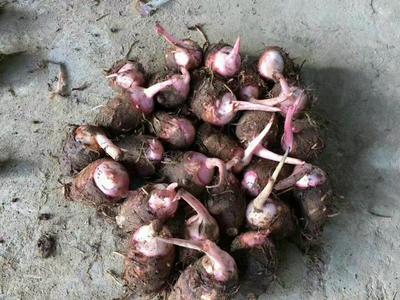 广东省清远市红芽芋 3cm以上