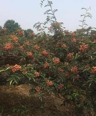 这是一张关于大红袍花椒苗  无刺狮子头,高产量 的产品图片
