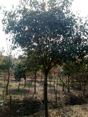 安徽省宣城市宣州区高杆红叶石楠