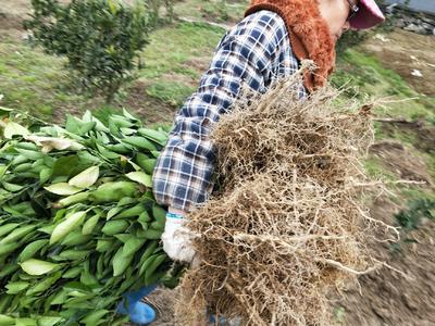 重庆秀山土家族苗族自治县纽荷尔脐橙苗 嫁接苗 0.5~1米