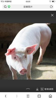 四川省内江市资中县长白猪 200-300斤