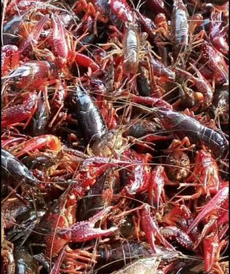 湖北省随州市随县中国龙虾 国产 0.4-0.6斤/只