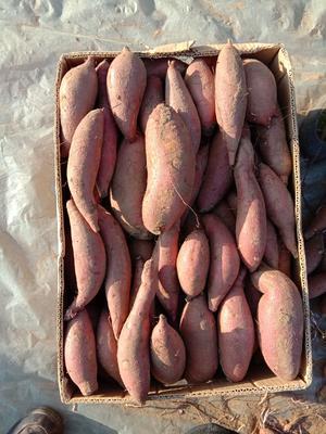 河北省唐山市迁安市济薯26号红薯 混装通货 红皮