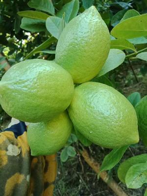 这是一张关于香水柠檬 2.7 - 3.2两 的产品图片
