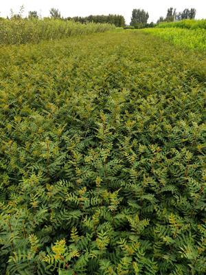 这是一张关于大红袍花椒苗 的产品图片