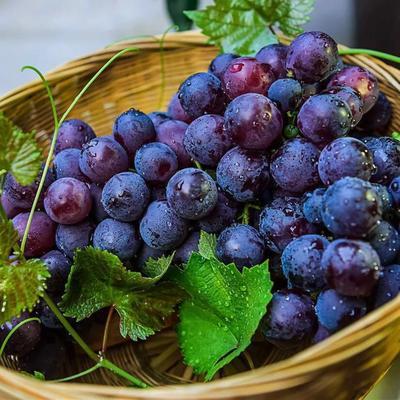 陕西省咸阳市秦都区夏黑葡萄 1.5- 2斤 5%以下 1次果