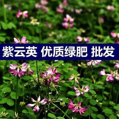 山东省济宁市嘉祥县紫云英种子