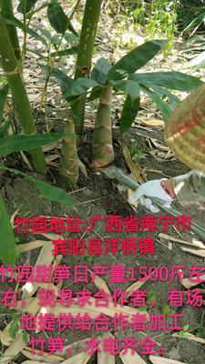 广西壮族自治区南宁市宾阳县甜竹笋 鲜笋