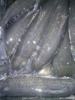 云南省昆明市西山区淡水青鱼 1.5-4公斤 人工养殖