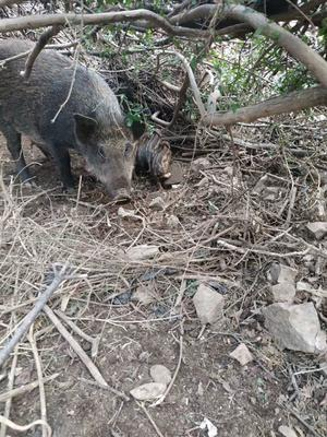 河南省驻马店市遂平县生态野猪 统货 160-200斤