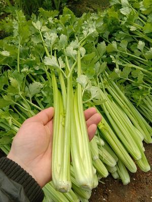 江苏省徐州市新沂市小西芹 55~60cm 0.5斤以下 大棚种植