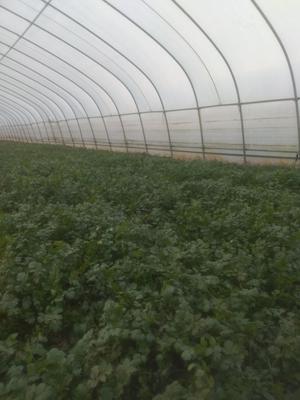 安徽省宿州市埇桥区大叶香菜 10~15cm