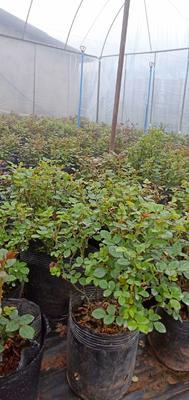 四川省成都市简阳市小月季  各种颜色带盆原生土