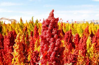 山西省忻州市繁峙县藜麦种子 常规种 ≥95% 18年红色黎麦种子