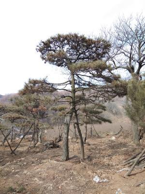 山东省莱芜市莱城区造型松树
