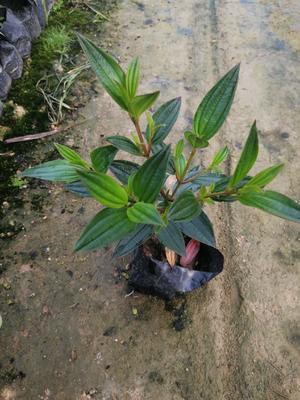 福建省漳州市龙海市巴西野牡丹 0.5米以下 2cm以下 4cm以下