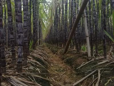 广东省广州市南沙区黑皮甘蔗 4 - 5cm 3m以上
