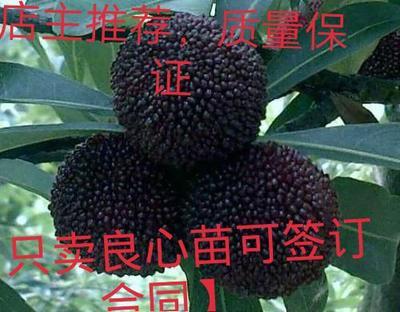 大黑炭杨梅树苗