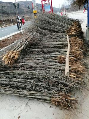 河南省三门峡市卢氏县小果皂角