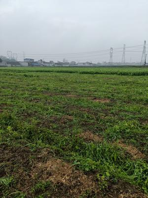 四川省眉山市东坡区白芹 60cm以上 0.5斤以下 露天种植