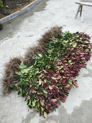 湖北省咸宁市咸安区红叶石楠