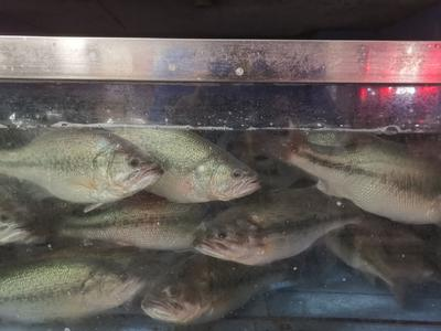 安徽省合肥市瑶海区加州鲈鱼 人工养殖 1-1.5公斤