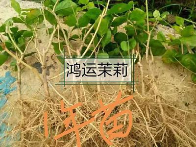广西壮族自治区南宁市横县白色茉莉 白色双瓣茉莉