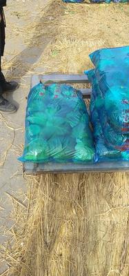 河南省南阳市新野县绿甘蓝 2.0~2.5斤