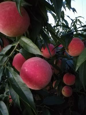 山东省烟台市招远市映霜红蜜桃 80mm以上 4两以上