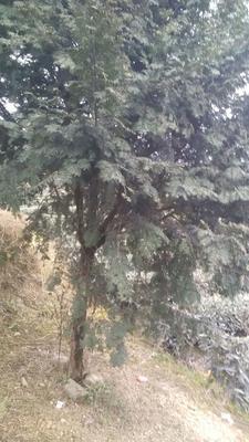四川省成都市邛崃市南方红豆杉 3~3.5米