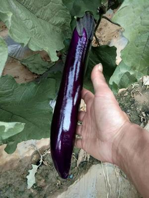 云南省红河哈尼族彝族自治州弥勒市紫冠茄子 30~40cm 长茄