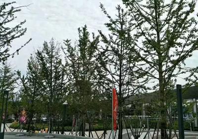 江苏省徐州市邳州市银杏实生树  22-25绿化工程