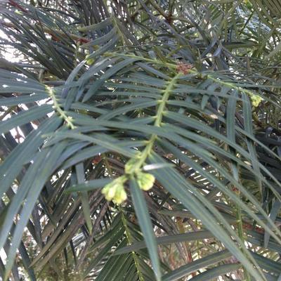 陕西省汉中市镇巴县造型松树